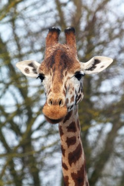 Giraffe Jason Morgan